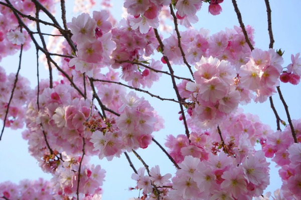 japanese-cherry-trees-324201_1280