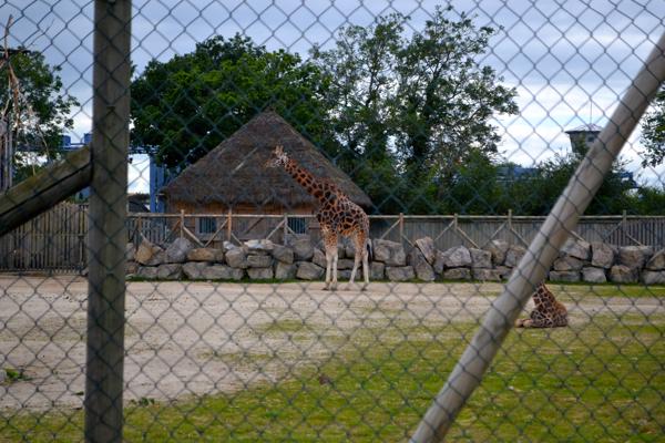 Flamingo Land Zoo giraffe