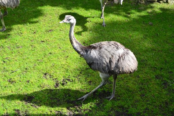 flamingo land zoo ostritch