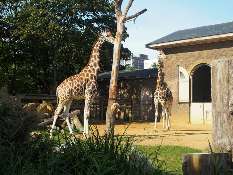 London zoo giraffes