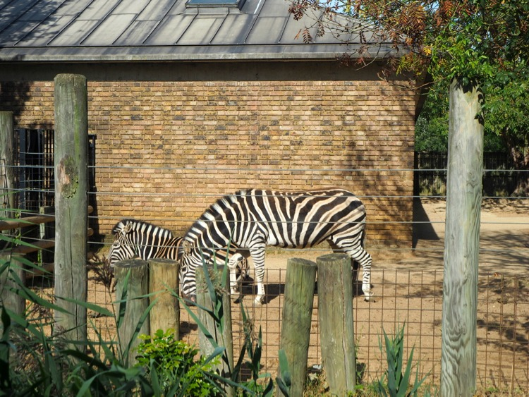London zoo zebras