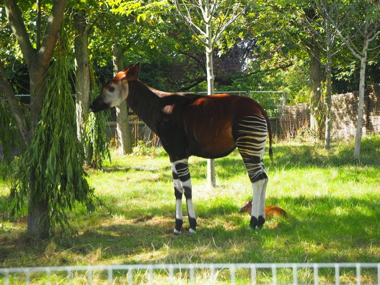 London zoo okapi
